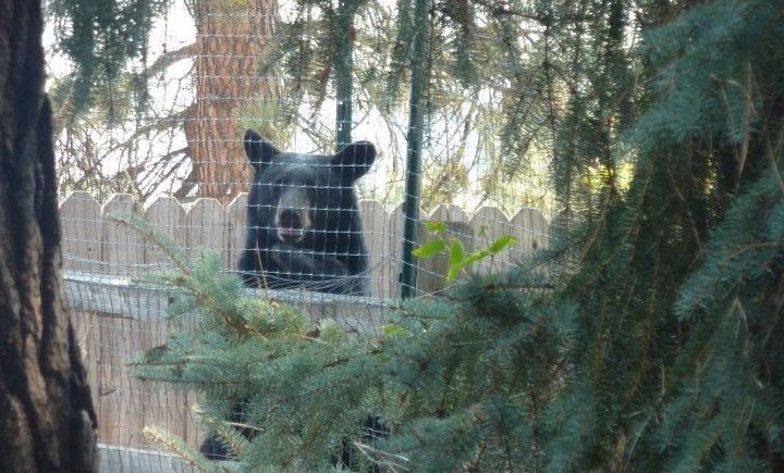 black bear looking over a fence